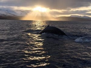 whale watching - Iceland